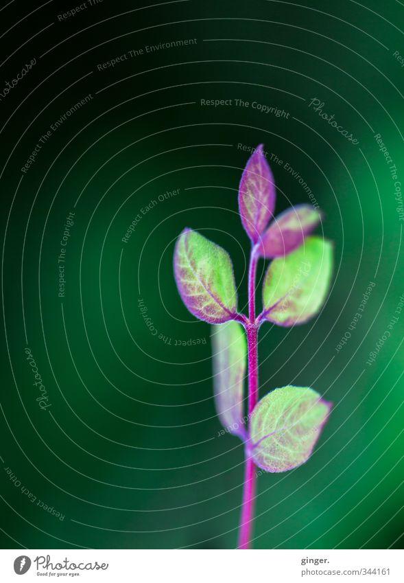 Aufrecht ! Umwelt Natur Frühling Pflanze Sträucher Blatt Grünpflanze Wachstum grün rot klein mehrere Zweig Blättchen Spitze streben zart Licht Farbfoto