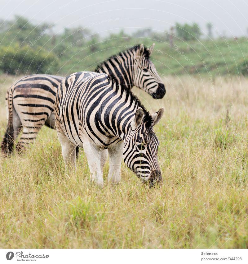 Kuscheltiere Ferien & Urlaub & Reisen Tourismus Ausflug Abenteuer Ferne Freiheit Safari Umwelt Natur Regen Pflanze Gras Sträucher Wiese Tier Wildtier Zebra 2