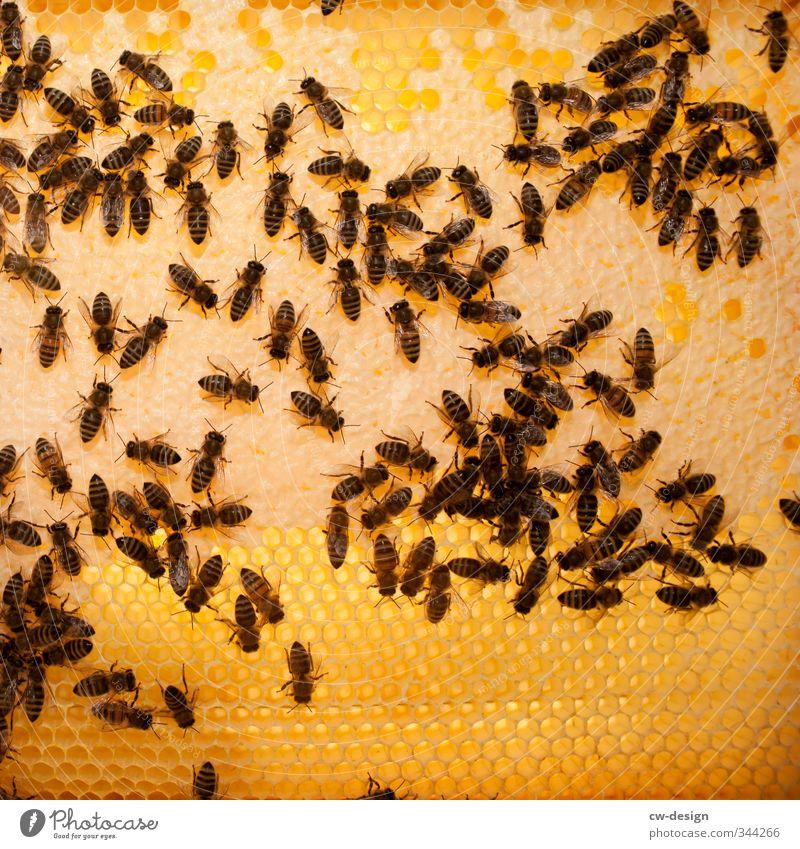 Einlagerung von zuckerhaltigen Ausscheidungsprodukten Tier gelb braun Arbeit & Erwerbstätigkeit orange gold Biene Nutztier Schwarm Bienenwaben Wabe Bienenstock
