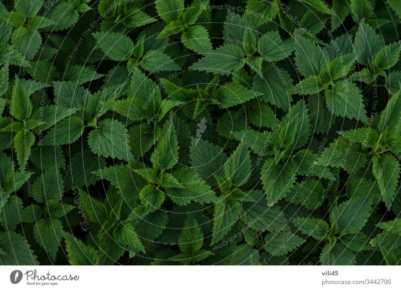 Hintergrund von frischen grünen Brennnessel- oder Urtica-Blättern im Garten Nessel Detailaufnahme Entwicklung Essen Lebensmittel Wachstum Gesundheit Kraut Blatt