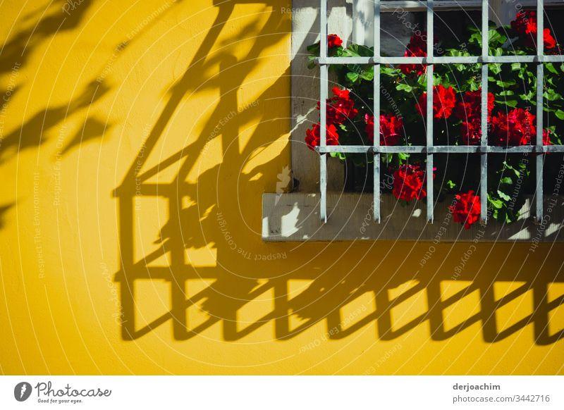 Blumen mit roten Blüten, stehen hinter Gittern auf einer Fensterbank. Den Schatten vom Gitter sieht man auf einer Gelben Hauswand. Licht & Schatten gelb Wand
