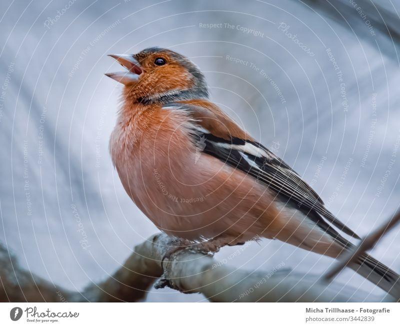 Singender Buchfink Fink Fringilla coelebs Kopf Schnabel Tiergesicht Flügel Krallen Auge Vogel Wildtier Feder Zweige u. Äste Farbfoto Außenaufnahme Nahaufnahme