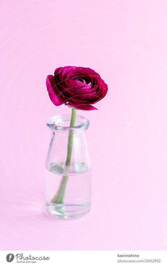 Frühlingskomposition mit einer dunkelroten Blume im Glasgefäß Ranunculus Wasser romantisch rosa hellrosa Pastell weiche Farbe abschließen Konzept kreativ Tag