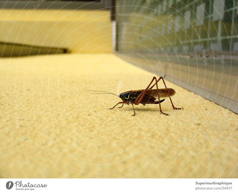 immer an der wand lang Insekt Wand Heuschrecke