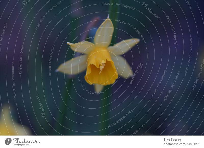 Narzissen Blüte Blumen Frühling Frühlingserwachen Gelbe Narzisse Pflanze Außenaufnahme