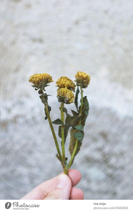 Danke für die Blumen... Trockenblum Trockenblumen gelb verwelken Vergänglichkeit vertrocknet Blüten Pflanzen Pflanzenschutz Pflanzenschädlinge Farbfoto Natur