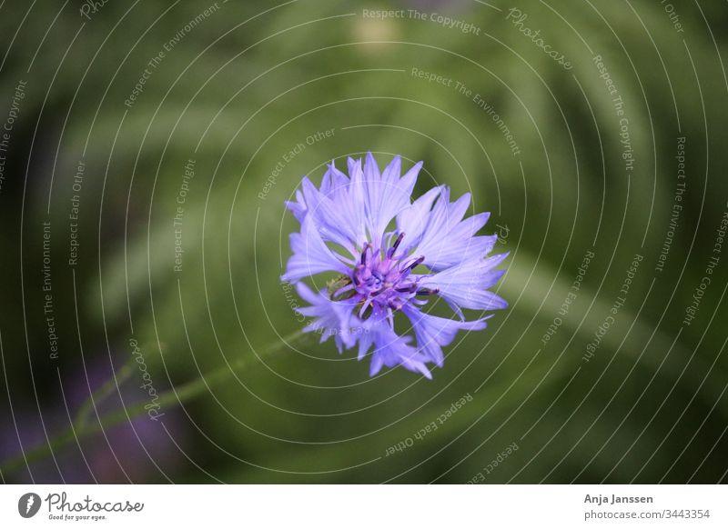 Blaue Kornblume mit grünem Hintergrund blau Blume Nahaufnahme Makro Sommer Garten Blüte Zyane