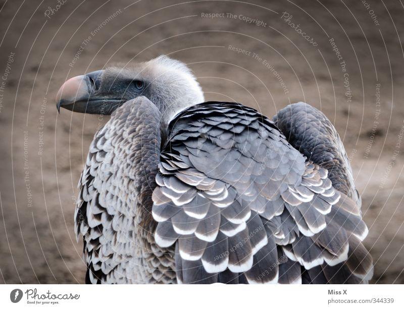 Geier* Tier Wildtier Vogel Flügel 1 Blick hässlich gefräßig Tod Aasfresser Feder Greifvogel Farbfoto Gedeckte Farben Außenaufnahme Menschenleer