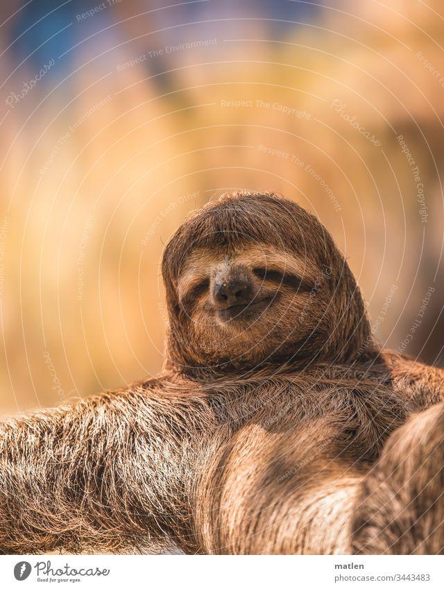 Smiley Faultier wildlife Lächeln Fell Tierportrait Natur niedlich Außenaufnahme braun Menschenleer Farbfoto Gelassenheit Wildtier Tag