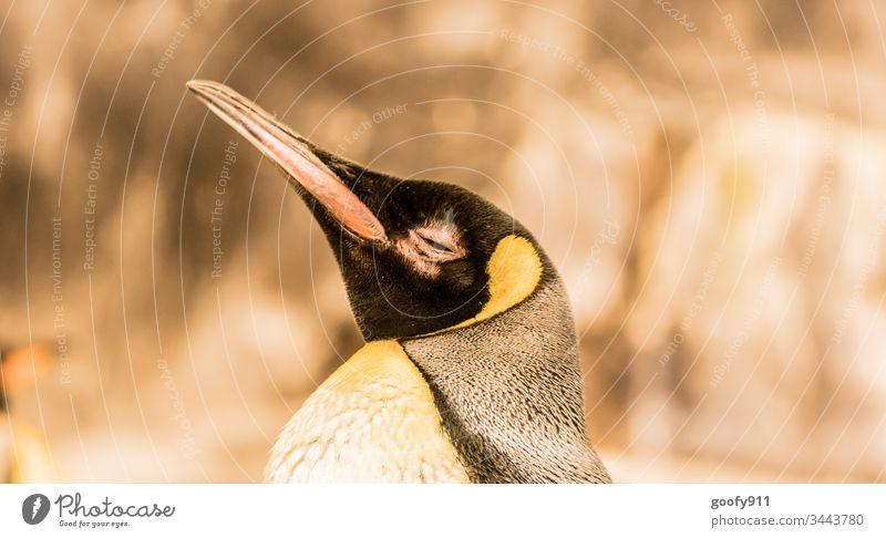 Pinguin Tier Farbfoto Tierporträt Vogel Nahaufnahme Tiergesicht Blick Schnabel Auge Feder Zoo Starke Tiefenschärfe gelb