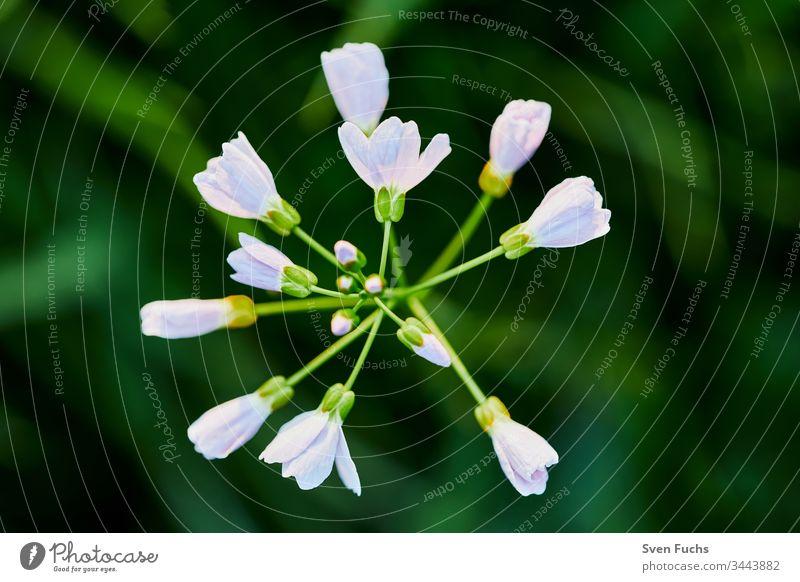 Wiesenschaumkraut als Nahaufnahme im milden Sonnenlicht wiesenkuckucksblume blüte pflanze grün gras nahaufnahme wiesenblume warme farben wild pastell wildblume