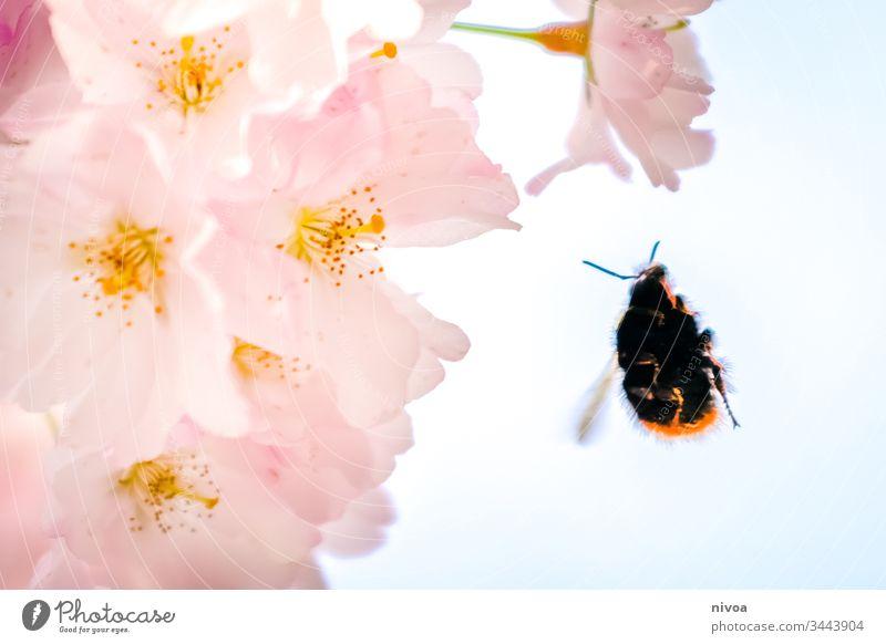Hummel im Anflug auf Kirschblüte Kirschblüten kirschblütenbaum Hummelflug Blume Natur Insekt Makroaufnahme Pflanze Biene Blüte Farbfoto Außenaufnahme fliegen