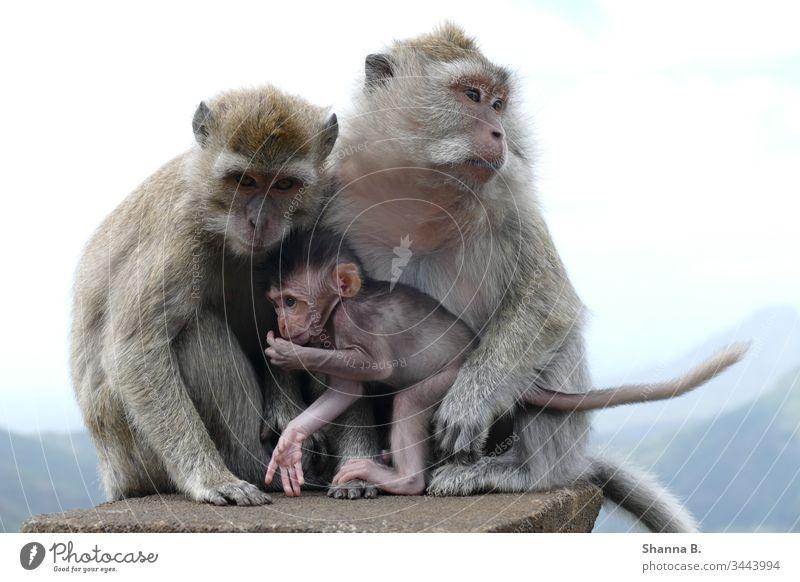 Affenfamilie Mauritius Affenbaby Tier Tiere Natur Farbfoto Säugetier Außenaufnahme niedlich Porträt Tierporträt Tierwelt Menschenaffen Afrika Primatenweibchen