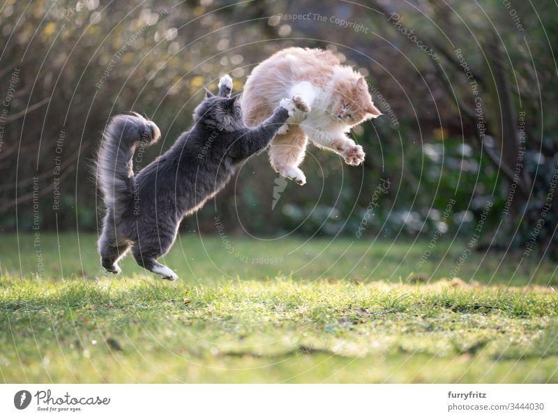 zwei verspielte Maine Coon Katzen springen in die Luft und kämpfen katzenhaft fluffig Fell Creme-Tabby Hirschkalb beige blau gestromt weiß Rassekatze Haustiere