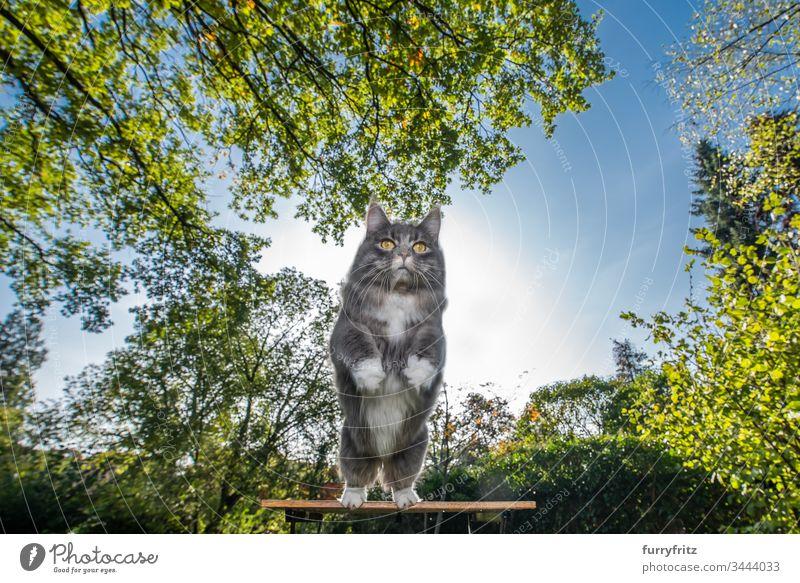Maine Coon Katze springt von einem Gartentisch in der Natur ab Ein Tier im Freien Pflanzen Blätter Vorder- oder Hinterhof Gras Rasen Wiese Bäume Klarer Himmel