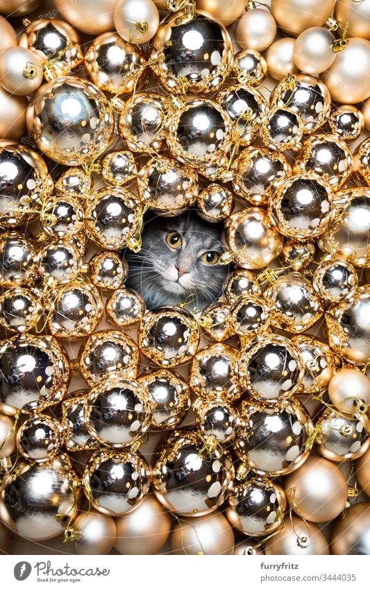 Maine Coon Katze schaut durch ein Loch umgeben von Christbaum Kugeln Rassekatze Haustiere weiß Langhaarige Katze blau gestromt Weihnachten