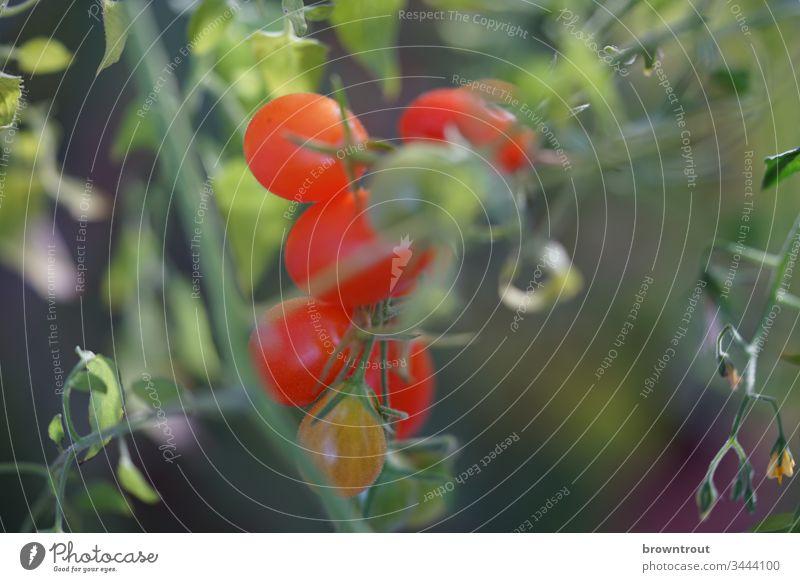 Frische kleine Tomaten am Strauch Gemüse Tomatenpflanze Strauchtomate frisches gemüse Gesunde Ernährung gesund essen Garten Balkongemüse Nahaufnahme