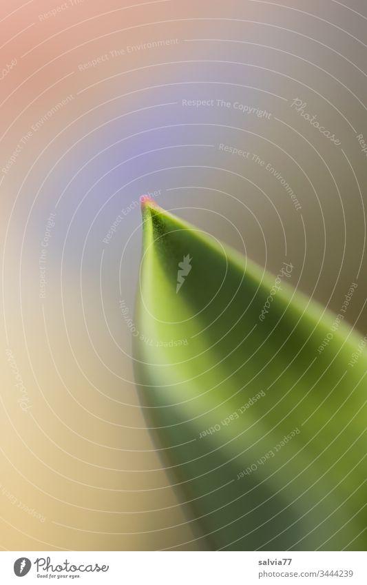 Blattspitze mit sanften Farben Natur Pflanze Tulpenblatt Spitze Textfreiraum oben grün ästhetisch Farbfoto natürlich einfach Makroaufnahme Pastellton