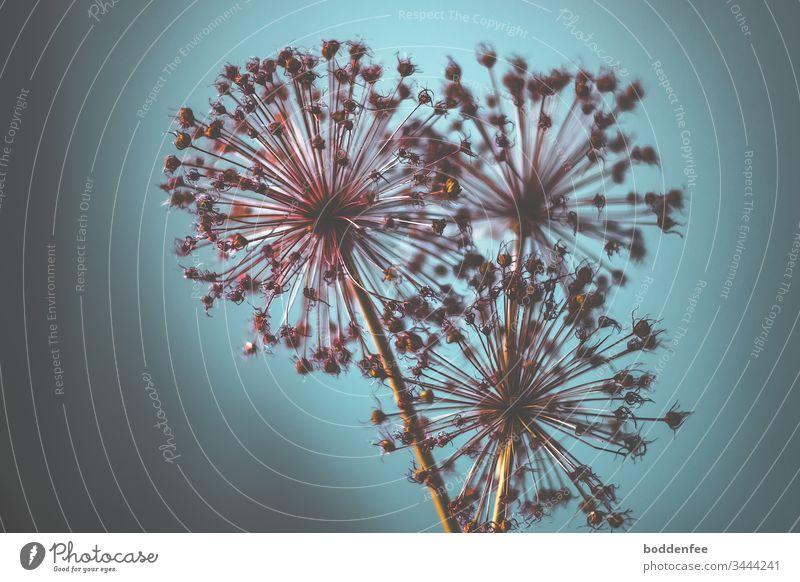 getrocknete Riesenlauchblüten in natürlichem Licht getrocknete Blüten Gartenpflanzen Pflanze Blume weinrot aquamarine natürliches Licht