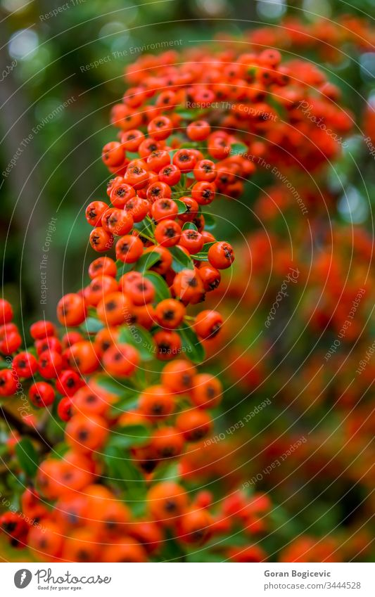 Winterbeerenbaum rot grün Natur Baum farbenfroh saisonbedingt Blatt Stechpalme Pflanze Zweig Feiertag Saison Ast Farbe Beeren Dekoration & Verzierung Design
