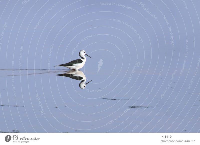 Spiegelung Stelzenläufer auf Futtersuche in niedrigem Salzwasser Vogel Mittelmeer Salzgewinnungsanlage Mallorca blaues Wasser menschenleer weiß schwarz rot