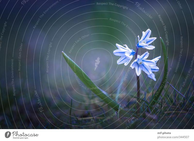 Puschkinie Natur blau grün Pflanze Blume Wiese Frühling Garten
