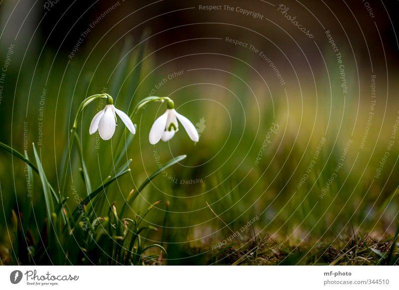 Schneeglöckchen Natur grün weiß Pflanze Blume Umwelt Wiese Frühling Garten Park