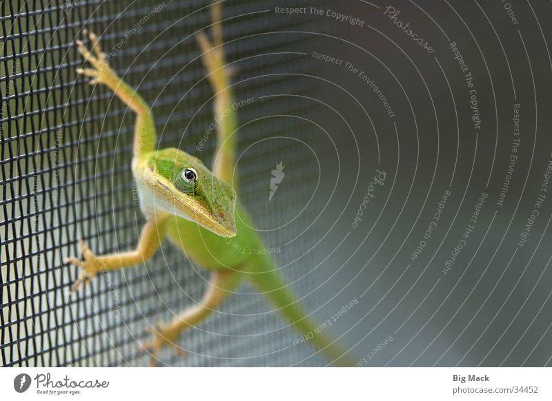 Wachsam Echte Eidechsen Leguane Zaun Gitter grün