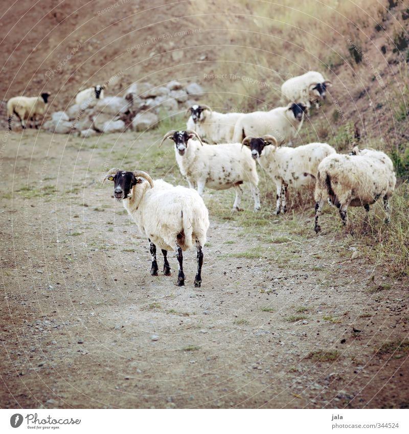 letzter blick zurück Natur Pflanze Landschaft Tier natürlich Tiergruppe Hügel Schaf Nutztier