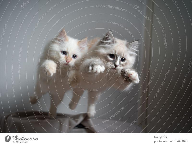 Zwei sibirische Kätzchen springen gleichzeitig durch die Luft Katze keine Menschen niedlich Katzenbaby katzenhaft fluffig Fell Haustiere Rassekatze