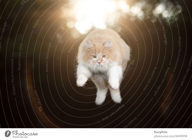 Maine Coon Katze springt im Sonnenlicht Ein Tier springend fliegen in der Luft Levitation Trick künstlerisch Jagd fokussiert Haustiere Rassekatze Creme-Tabby