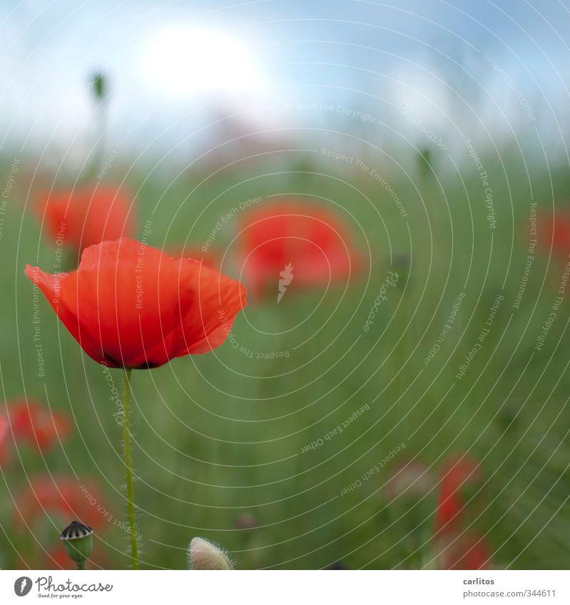 Immer wieder Mohntags ..... Umwelt Natur Pflanze Wiese Blühend rot grün Mohnkapsel Schwache Tiefenschärfe Farbfoto Außenaufnahme Textfreiraum oben