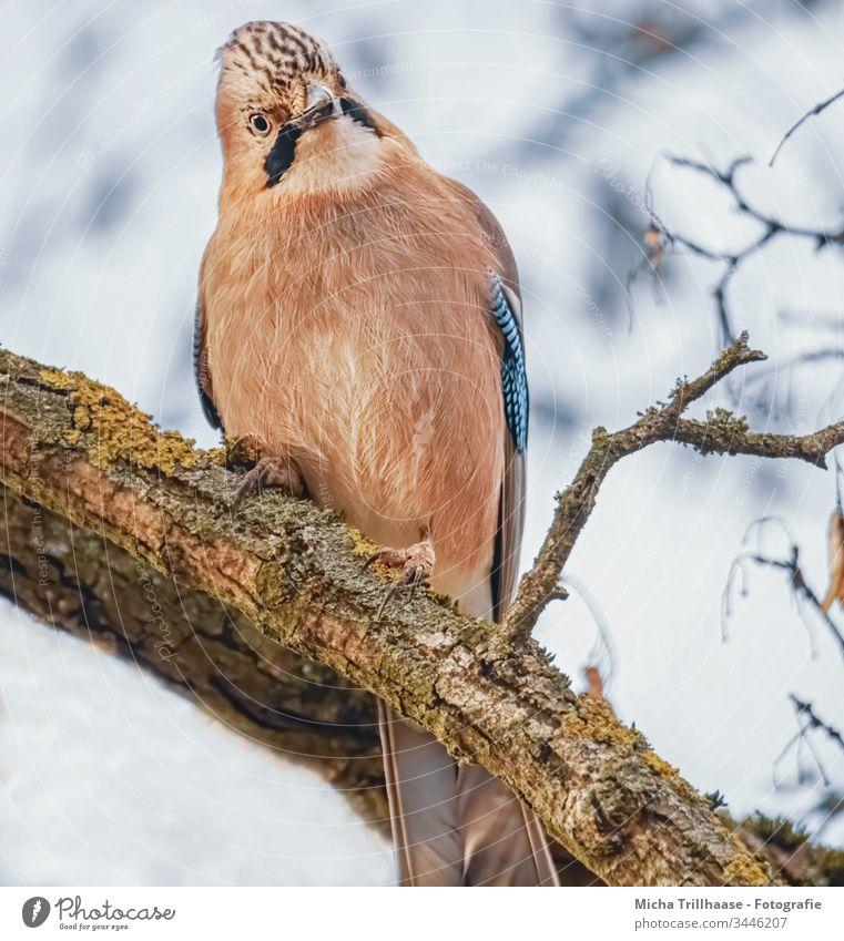 Skeptisch blickender Eichelhäher Garrulus glandarius Vogel Tiergesicht Flügel Feder Kopf Schnabel Krallen Auge gefiedert Blick Neugier Baum Zweige u. Äste