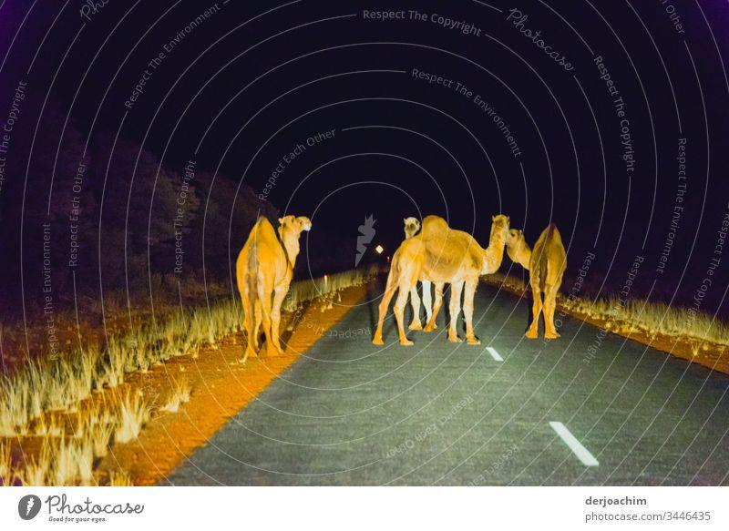 Nachtwanderung der Kamele. Vier stehen auf der Straße und lassen kein Auto durch. Angestrahlt von den Scheinwerfern. Fahrt Ferien & Urlaub & Reisen Natur Freude