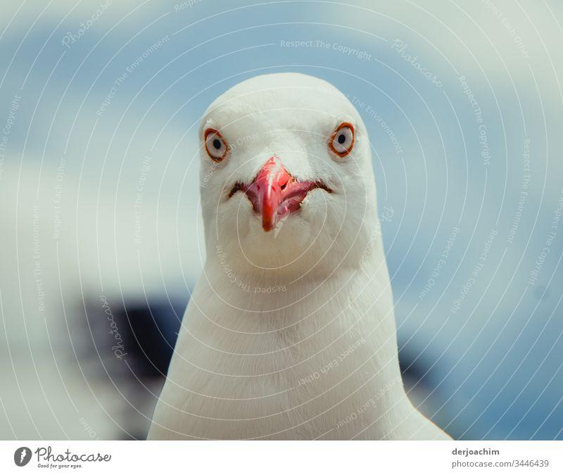 Möve schaut mit großen Augen und  rotem Schnabel in die Kamera Möwe weiß Freiheit Vogel Natur Sommer Luft Tier Farbfoto Menschenleer Außenaufnahme Wildtier