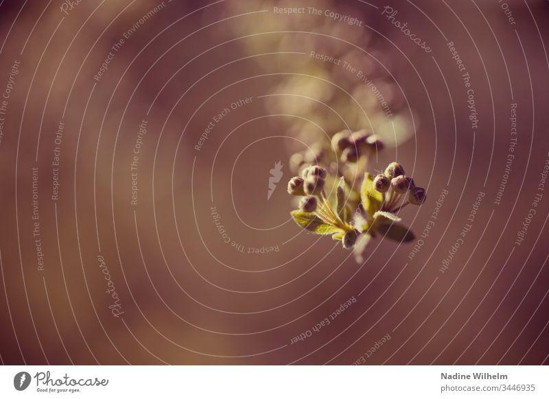 Der Frühling steht vor der Tür Pflanze Strauch Natur Außenaufnahme Nahaufnahme Farbfoto grün Makroaufnahme Tag Detailaufnahme Schwache Tiefenschärfe natürlich
