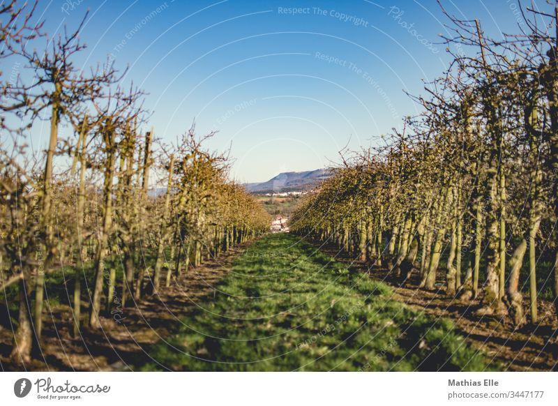 Obstbaumplantage Natur Pflanze Farbfoto grün Himmel Außenaufnahme Schönes Wetter Baum blau Gedeckte Farben Apfelbaum Frühlingsgefühle Froschperspektive Umwelt