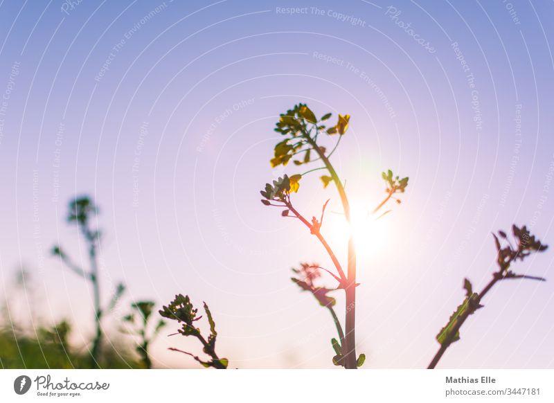Rapsblüte im Sonnenlicht gelb grün Blüte Farbfoto Außenaufnahme genießen mai farbfoto blüten nahrung rapsöl ernte natur rapsblüte landwirtschaft rapsfeld