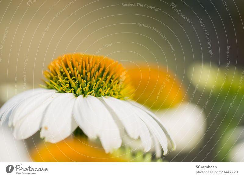 Sonnenhut weiß/gelb Blume Pflanze Blüte Garten Sommer natürlich schön Natur Nahaufnahme Makroaufnahme Detailaufnahme Schwache Tiefenschärfe Freisteller