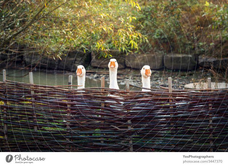 Drei lustige Gänse hinter einem rustikalen Zaun Tiere Vögel Hausgans Bauernhof Federvieh Team Trio Triplett Einheit Wächterin Frühling Sommer Flechtzaun