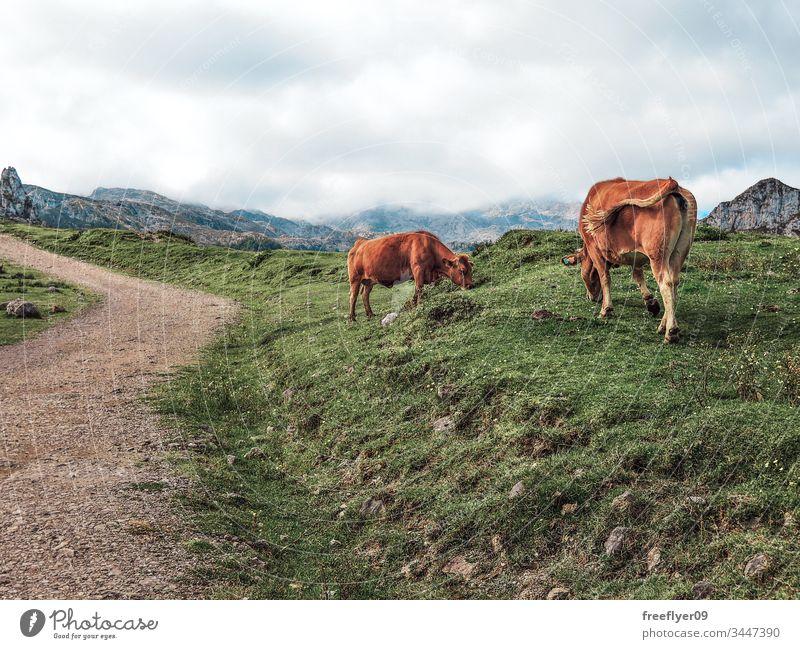 Schmutziger Weg in den Picos de Europa in Asturien, Spanien, mit einigen Kühen auf der Seite Tier kantabrisch Rind Landschaft Kuh Tag Umwelt europa Europäer