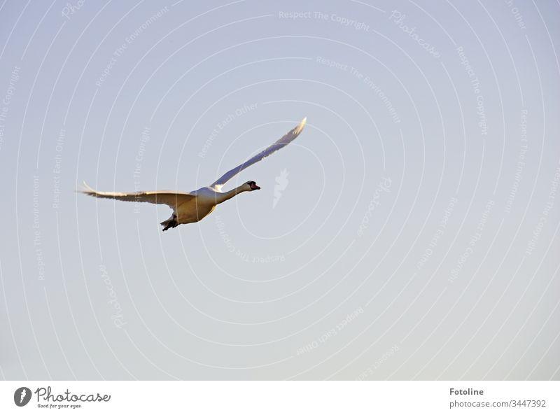Schwan mit ausgebreiteten Schwingen im Landeanflug Tier Vogel weiß Feder Schnabel schön Hals elegant ästhetisch Stolz Außenaufnahme Farbfoto Natur 1 Wildtier