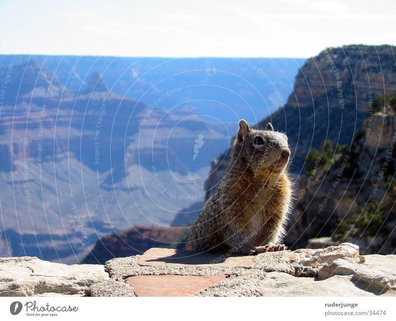 Grand Canyon Natur Sonne Sommer Tier Ferne Berge u. Gebirge Stein braun wandern Hintergrundbild Wetter Ausflug USA Fell Wildtier Nationalpark