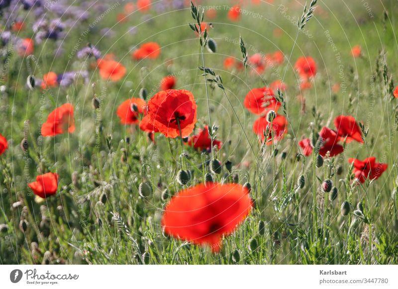 Mohntag Klatschmohn Blumenwiese Wiese Frühling Sommer Blüte grün Pflanze Mohnfeld Landschaft Natur Idylle Flora Umwelt Garten Feld Blühend