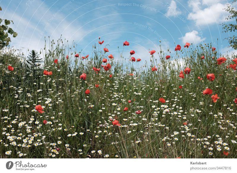 Der Grashüpfer Mohn Klatschmohn Blumenwiese Wiese Frühling Sommer Blüte grün Pflanze Mohnfeld Landschaft Natur Idylle Flora Umwelt Garten Feld Blühend Margerite