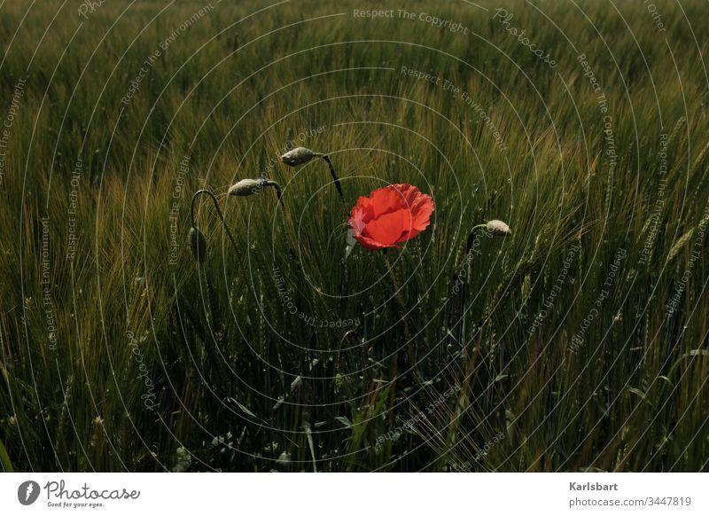 Später Mohn Mohnblüte Mohnfeld Blume Sommer Pflanze Wiese Feld Blüte Menschenleer Außenaufnahme Natur Landwirtschaft Mohnkapsel Licht Gras Mohnblatt Sonnenlicht