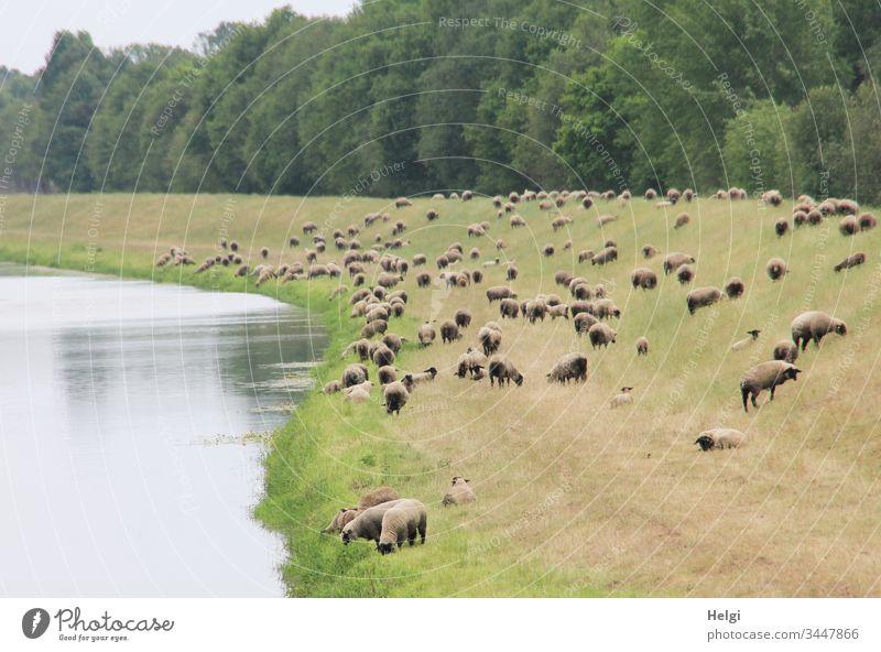 Schafherde als Landschaftsschutz auf einem Deich am Fluss Tier Nutztier Herde menschenleer Gras fressen Natur Umwelt Tag Wiese grün braun grau Bäume viele