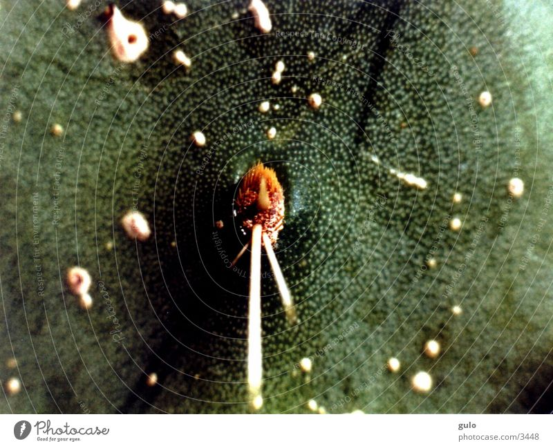 Kaktus Pflanze Makroaufnahme Stachel Wüste