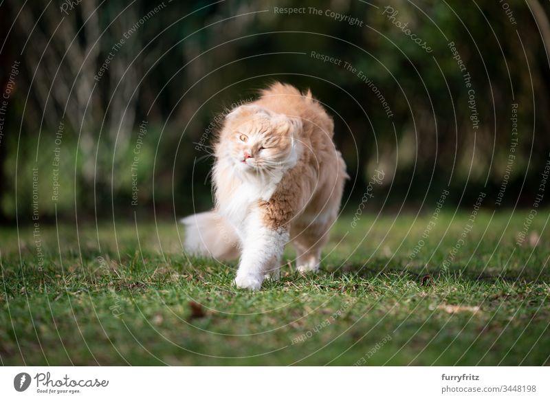 Maine Coon Katze schüttelt sich im Wind Haustiere katzenhaft Fell fluffig Langhaarige Katze Hirschkalb beige Creme-Tabby Ingwer-Katze weiß Ein Tier im Freien