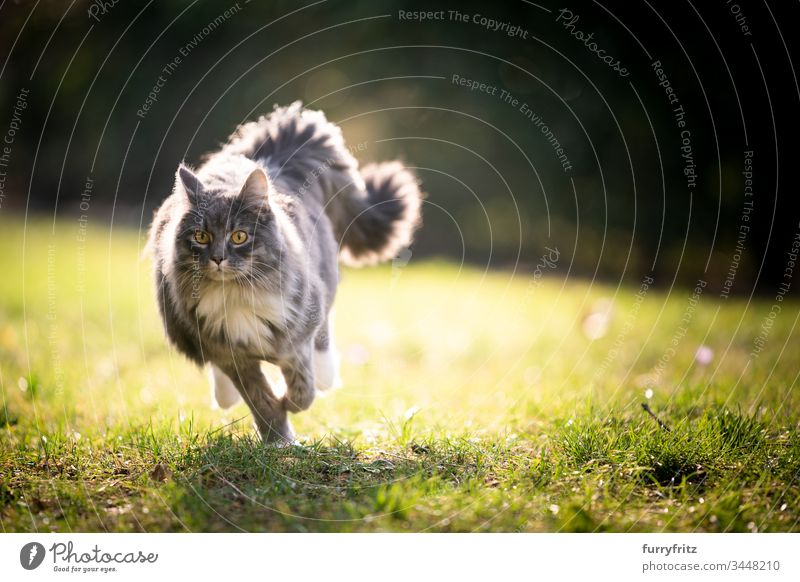 Maine Coon Katze mit flauschigem Schwanz rennt im Sonnenlicht über den Rasen Haustiere katzenhaft Fell fluffig Langhaarige Katze blau gestromt weiß Ein Tier